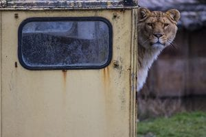 Leeuw in de Beekse Bergen