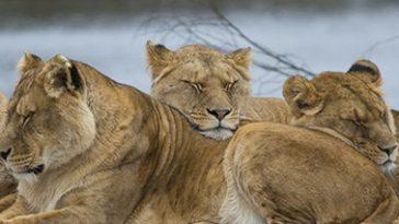 4 Leeuwinnen bovenop in de Beekse Bergen