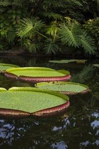 Waterleliebladen in Diergaarde Blijdorp