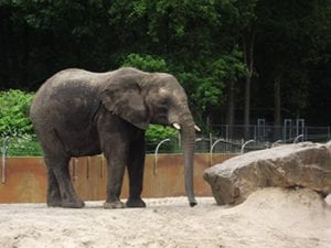 Afrikaanse olifant in Ouwehands Dierenpark