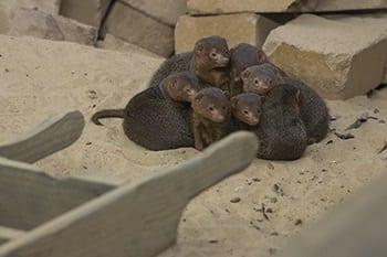 Dwergmangoesten in Wildlands Adventure Zoo Emmen
