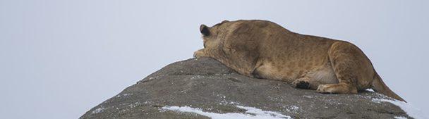 Leeuwin op een rots in Wildlands Adventure Zoo Emmen