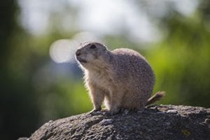 Prairiehond op een rots in Diergaarde Blijdorp