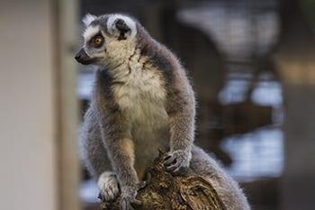 Ringstaartmaki in Wildlands Adventure Zoo Emmen
