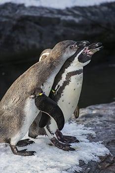 pinguins in Wildlands Adventure Zoo Emmen