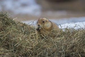 prairie hondje in Wildlands Adventure Zoo Emmen