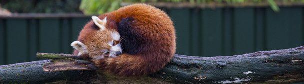 Rode panda in Dierenrijk Nuenen