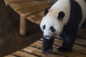 Foto van Panda in Ouwehands dierenpark