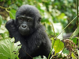 Baby Gorilla in Nationaal Park Oeganda