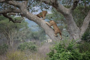 Boomklimmende leeuwen in oeganda
