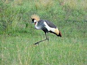 Kraanvogel in Nationaal Park Oeganda