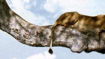Leeuw in een boom in Oeganda
