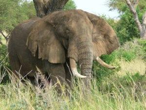 Olifant in Oeganda