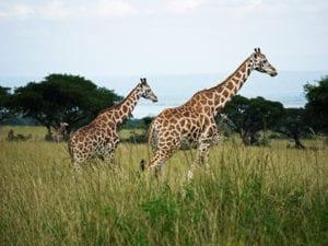 Rothschild Giraffe in Oeganda