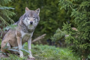 Wolf met 1 oog in GaiaZOO Kerkrade
