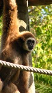 Gibbon in de dierentuin in Lissabon