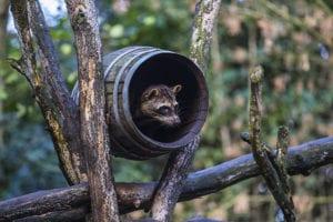 Krabbenetende wasbeer in ZooParc Overloon