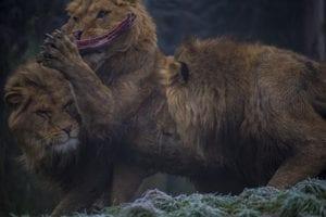 Leeuwen vechten om een stuk vlees