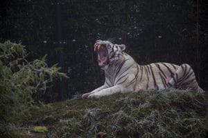 Witte tijger in ZooParc Overloon