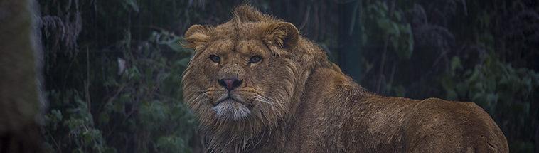 Leeuw in ZooParc Overloon