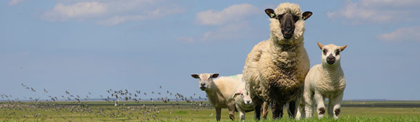 Lammetjes tijdens het Pinksterweekend