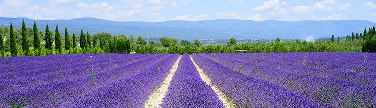 Lavendelvelden in de Provence-Aples-Côte d'Azur