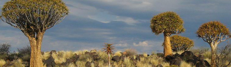 Stokstaartje in de Kalahari